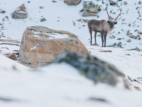 A caribou stands in the snow.