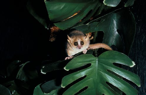 A lemur peeks from behind a leaf that resembles a monstera.