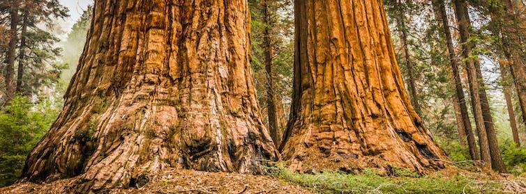 Dos grandes troncos de árbol en un bosque