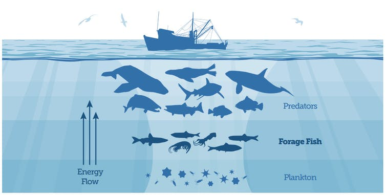Infographic of marine food chain