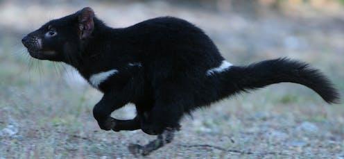 Tasmanian devil running
