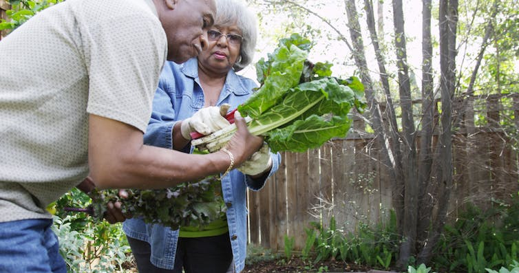 A couple of elderly people pulling up vegetables in a garden.