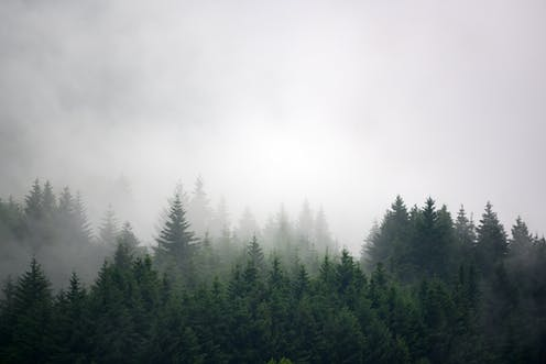 Misty pine forest