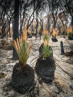 Green shoots of grass trees after bushfire