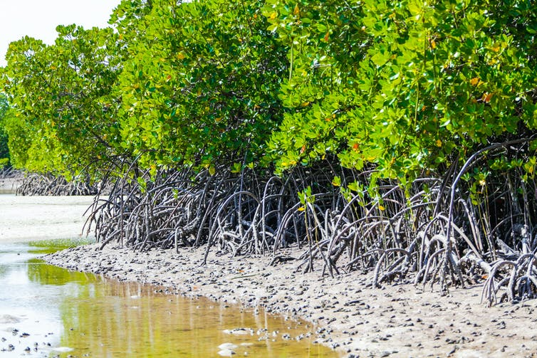 A sandy bank filled with twisted roots of mangrove trees.