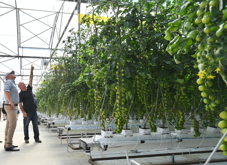 two men looking at tomato plants in a hydroponic farm