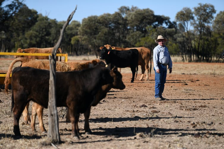 Farmer with cattle on drought-stricken farm