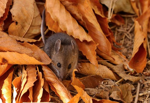 A deer mouse among autumn leaves