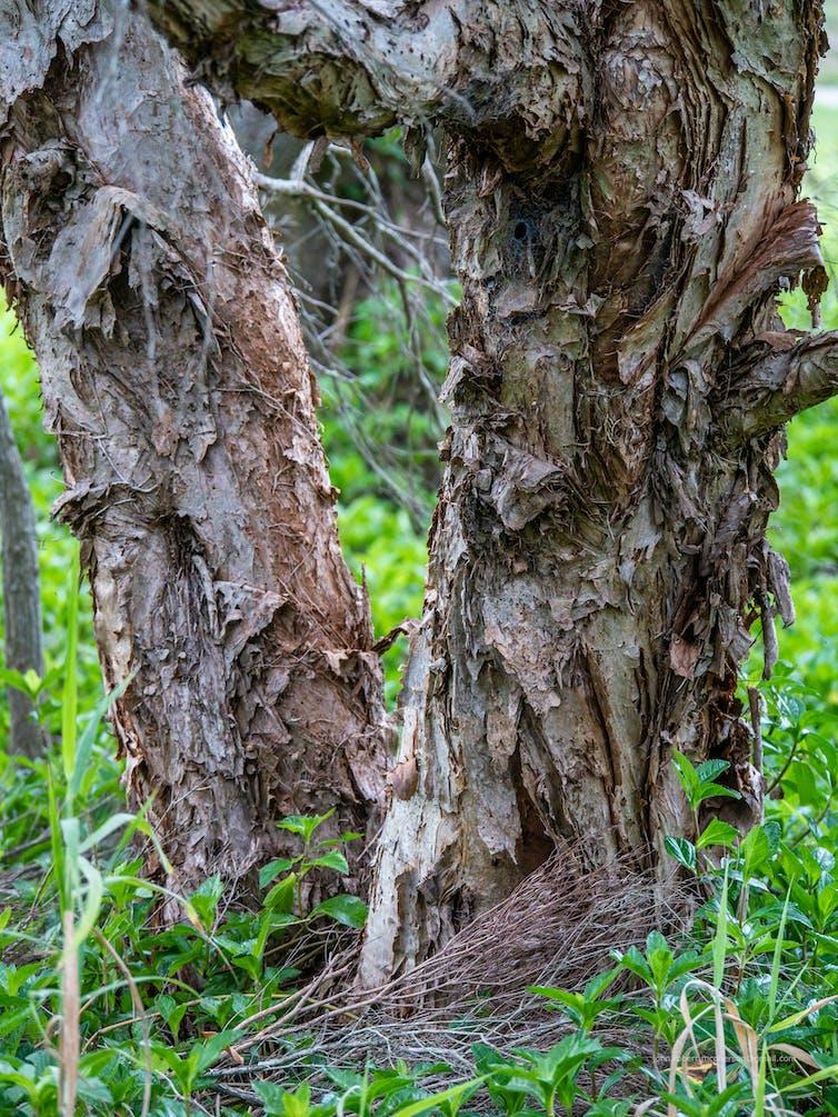 Paperbark trunk
