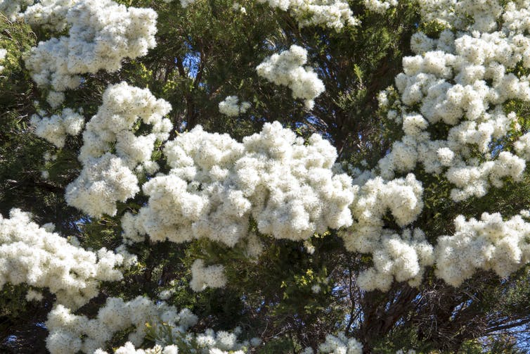 Fluffy flowers of snow in summer
