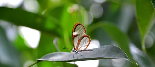 A glasswing butterfly with transparent wings bordered with orange rests on a leaf