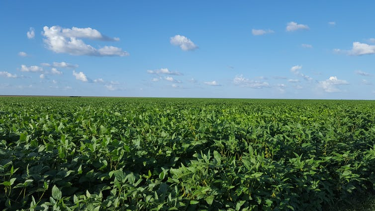 A vast green soybean crop under a blue sky.