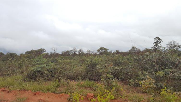 A tropical savanna habitat with shrubs and trees.