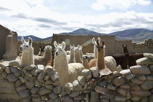 Llamas penned behind a stone wall.