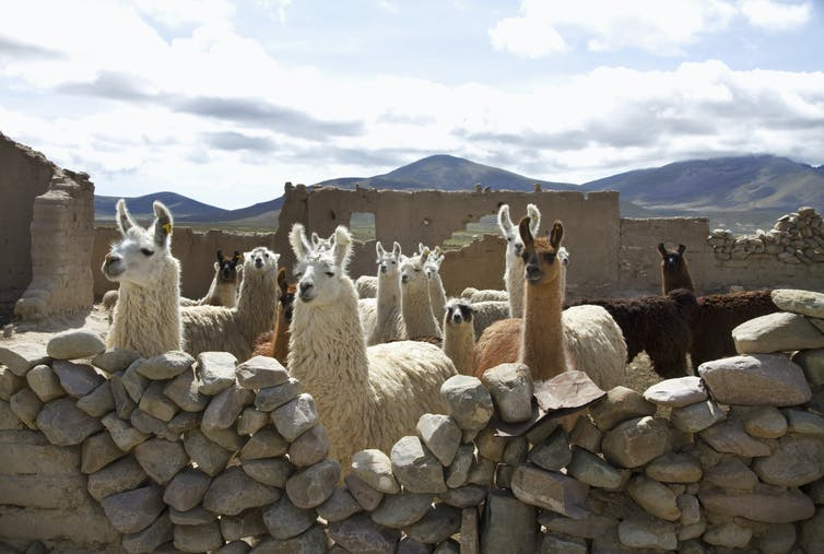 Group of alpacas standing behind a stone fence