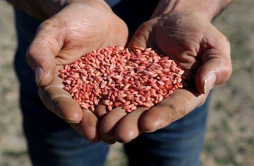 Western Australian farmer Rhys Turton holds barley seeds in his fields near York, 100km east of Perth.