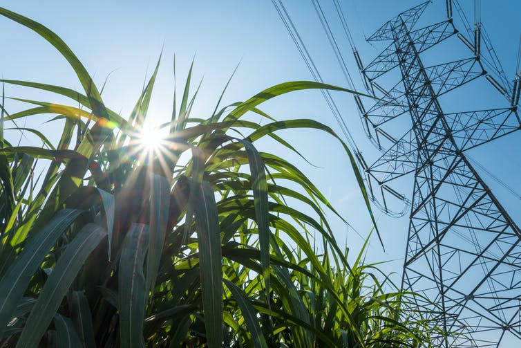 Sugar cane in front of electricity infrastructure