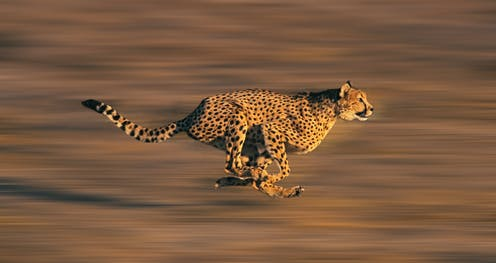 A cheetah running fast, blurred background