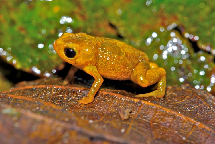 Tiny bright orange toad sits on leaf
