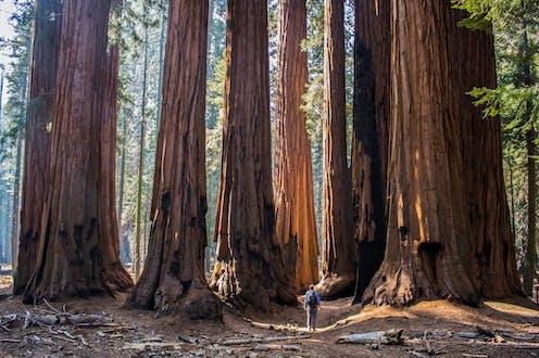 A man walks through a grove of Sequoia trees.