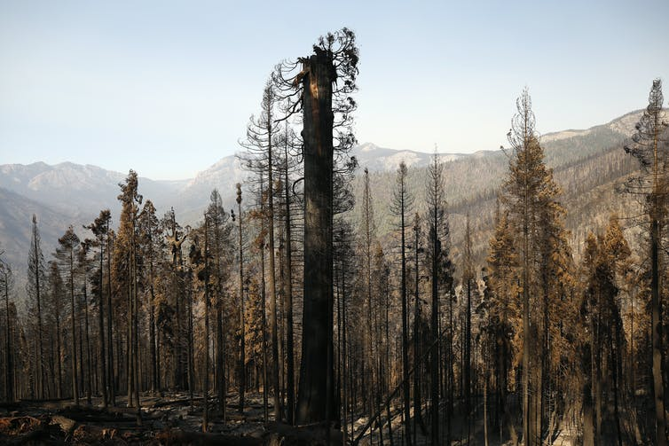 The burnt canopy of a Sequoia tree.