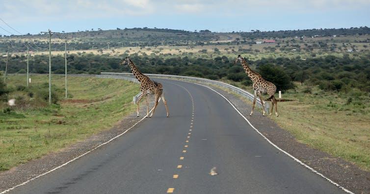 Two giraffes cross a road in a savanna landscape.
