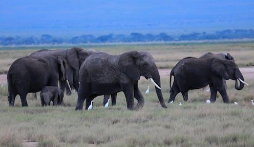 A herd of elephants wander across a savanna landscape.