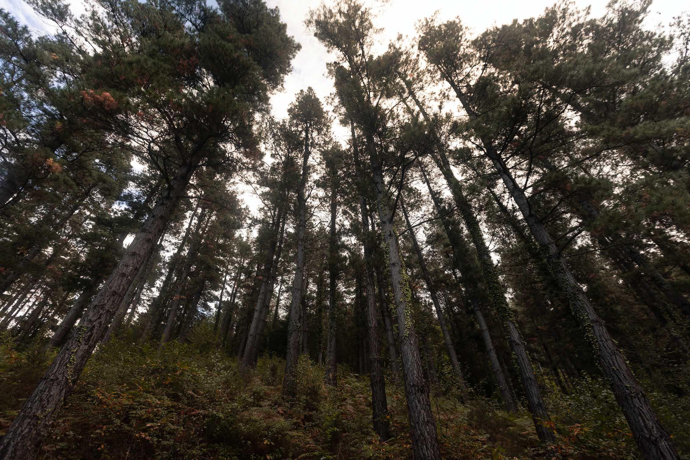 Bosque de pinos en el País Vasco.Jorge Argazkiak