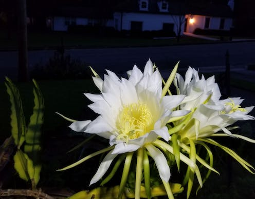 white blossoms at night