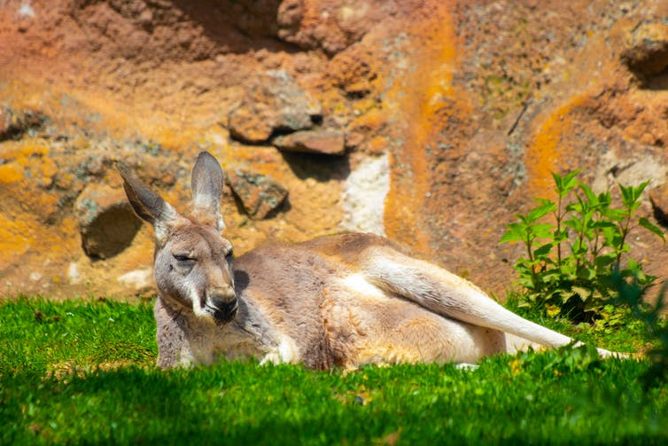 Kangaroo lying in the sun.