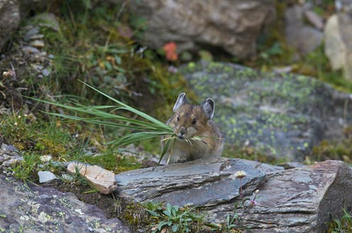 Pika in rocky area with a mouthful of grass
