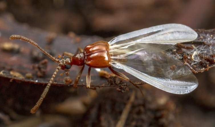 A bronze-coloured beetle with delicate, translucent wings
