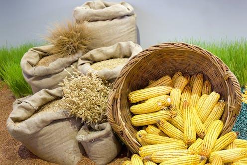 Cesto con mazorcas de maiz y sacos con cereales.