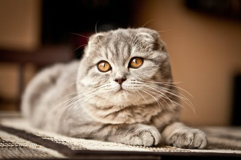 Breeds with exaggerated features include the Scottish fold.