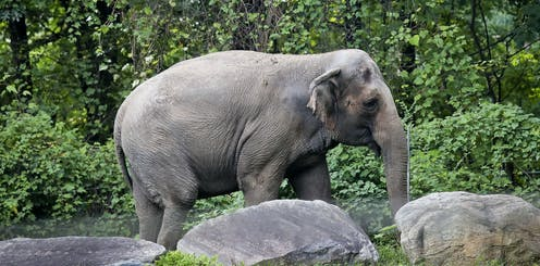 A lone elephant strolls past rocks and trees in a zoo enclosure.