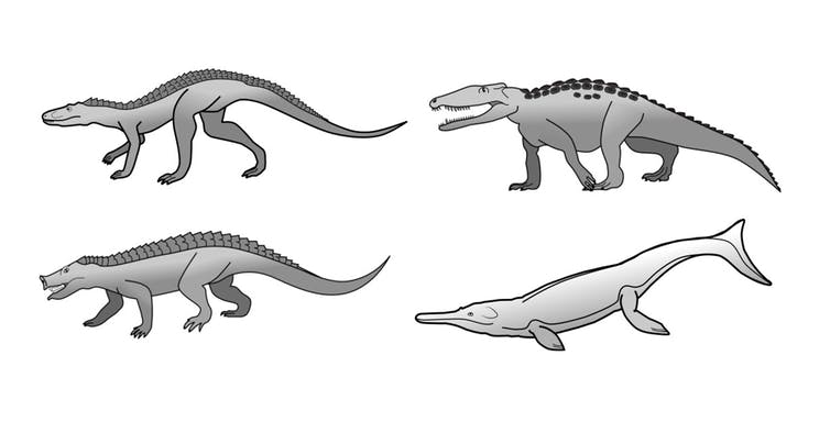 Crocodiles today look the same as they did 200 million years ago. Computer drawings of four types of crocodiles with no direct descendants