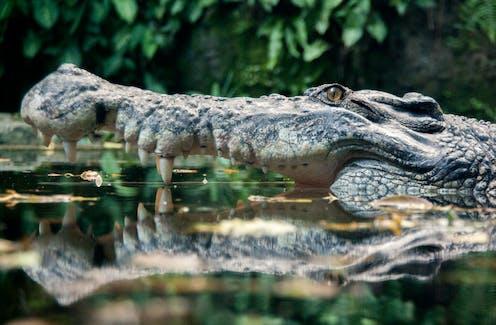 A submerged crocodile in profile