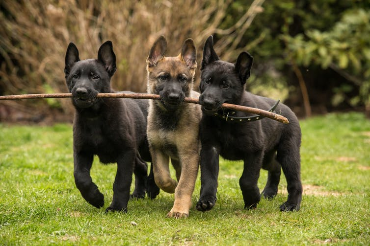 Three puppies holding onto a branch.