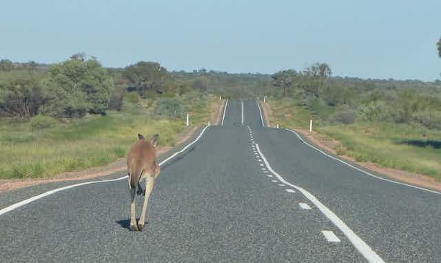 Kangaroo jumping along a road