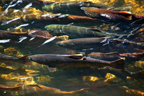 Salmon crowd a river channel.