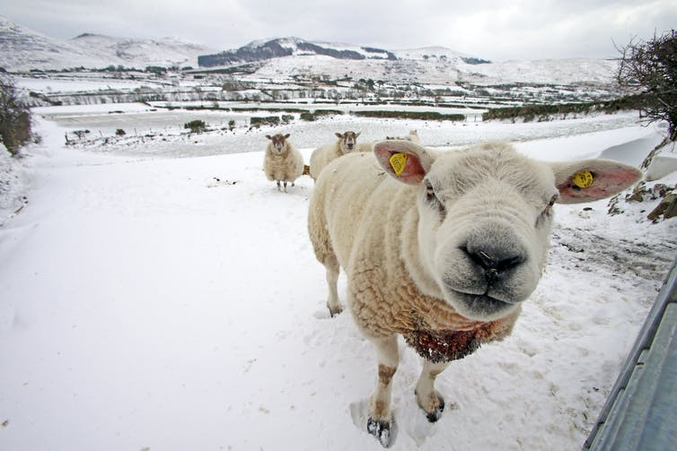 A sheep in snowy field looks at camera.