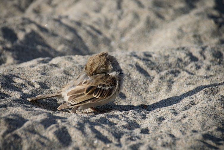A sparrow preening on a beach