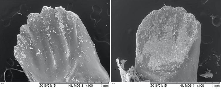 A microscopic view of two different sets of mandibles. One shows pointy 'teeth,' while the other looks worn down.
