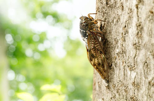 A brown cicada on a tree trunk
