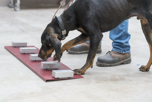 Dog learning to distinguish scents from different boxes