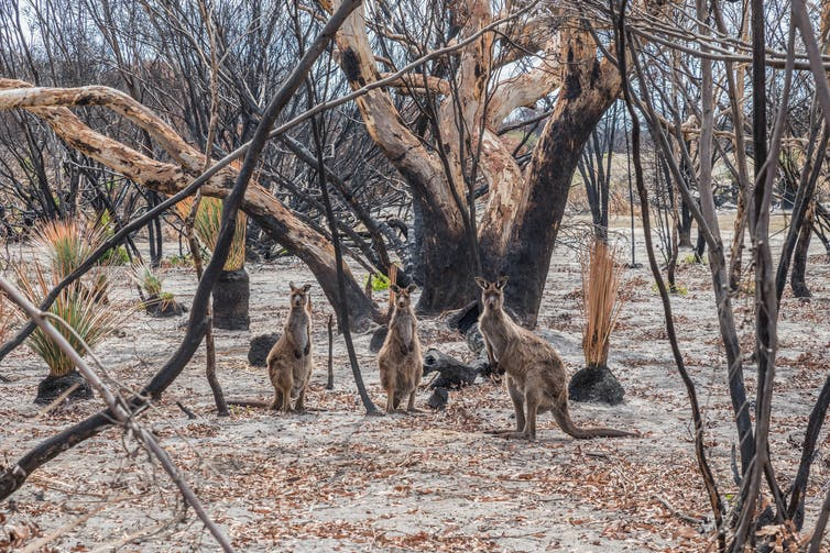 Kangaroos in burnt bushland on Kangaroo Island, South Australia.