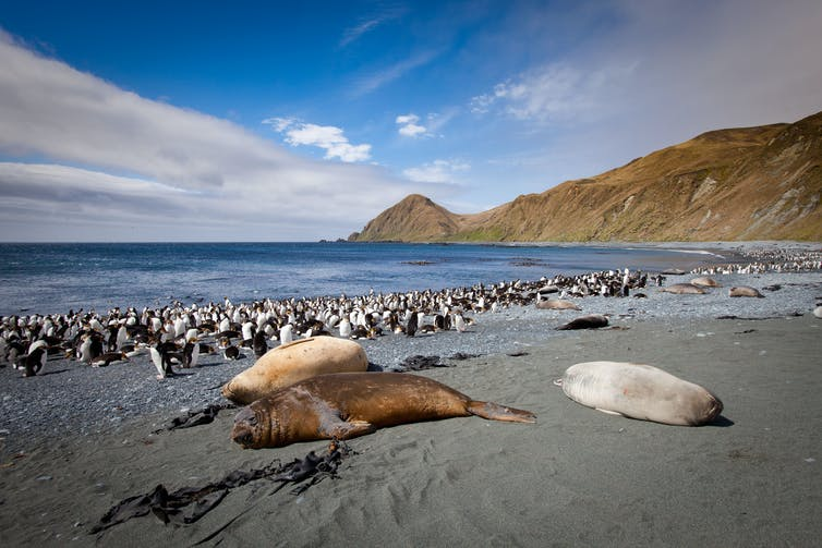 Royal Penguins and Southern Elephant Seals at Sandy Bay, Macquarie Island.