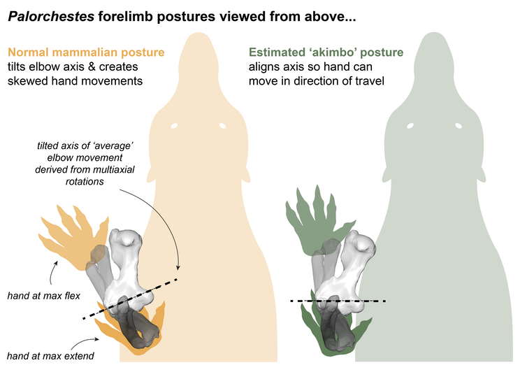 Two possible forelimb postures for Palorchestes