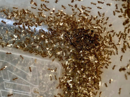 A swarm of ant cover a large plastic container