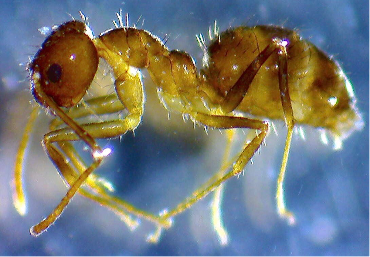 Close up photo of a golden-colored ant against a blue background.